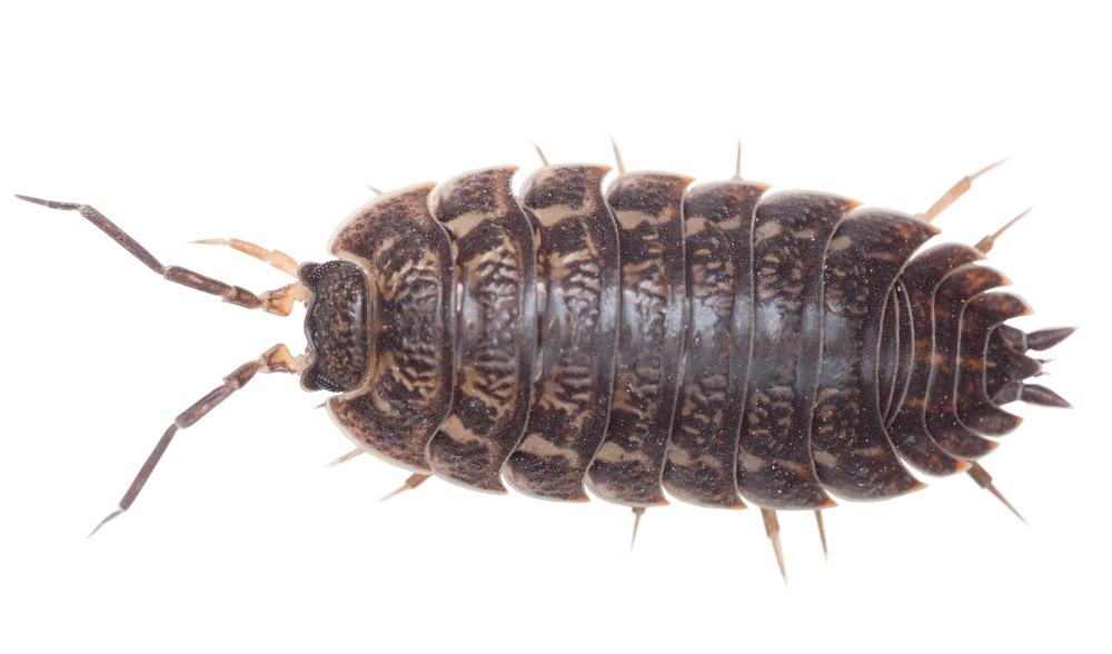 cloportes poisson d argent l 233 pisme groupe scorpion exterminateur